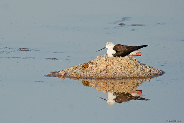 Black-winged Stilt nesting