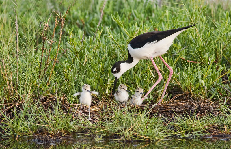 Black necked Stilt at Nest with Three Chicks