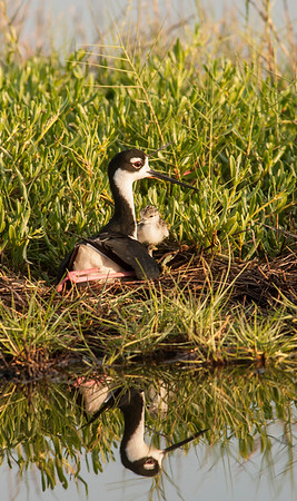 Black necked Stilt Mom and Chick on Nest