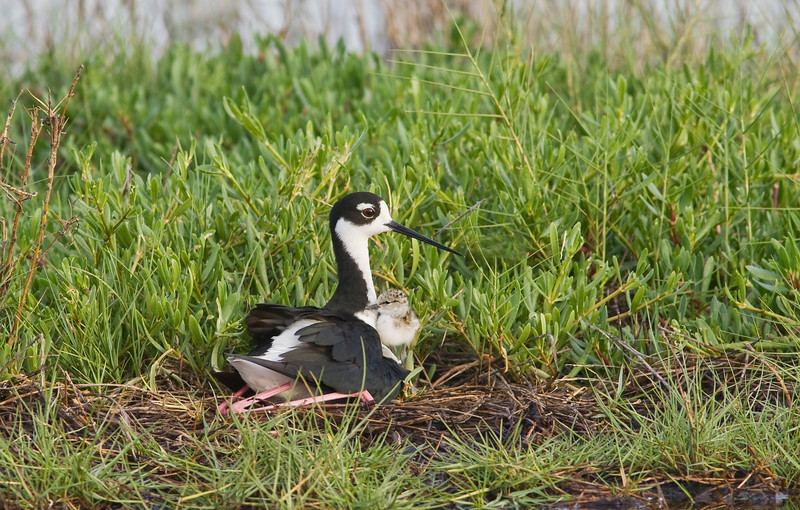 Mom and Chick on Nest
