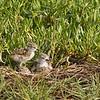 Stilt Chicks on Nest