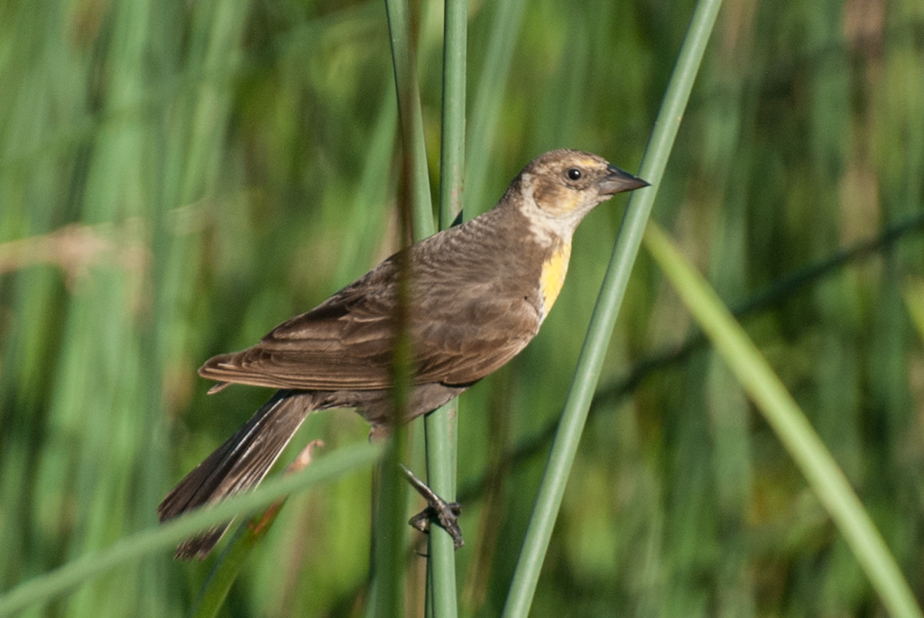 Yellow-headed Blackbird, female