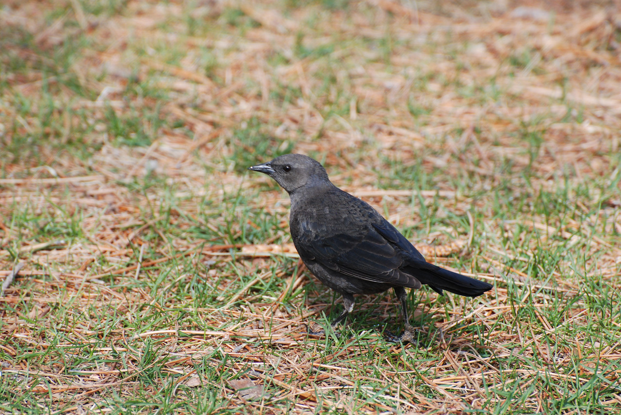 Brewer's Blackbird, female