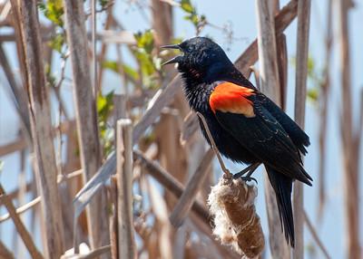 Blackbirds, Bobolink, Oriole, Grackle
