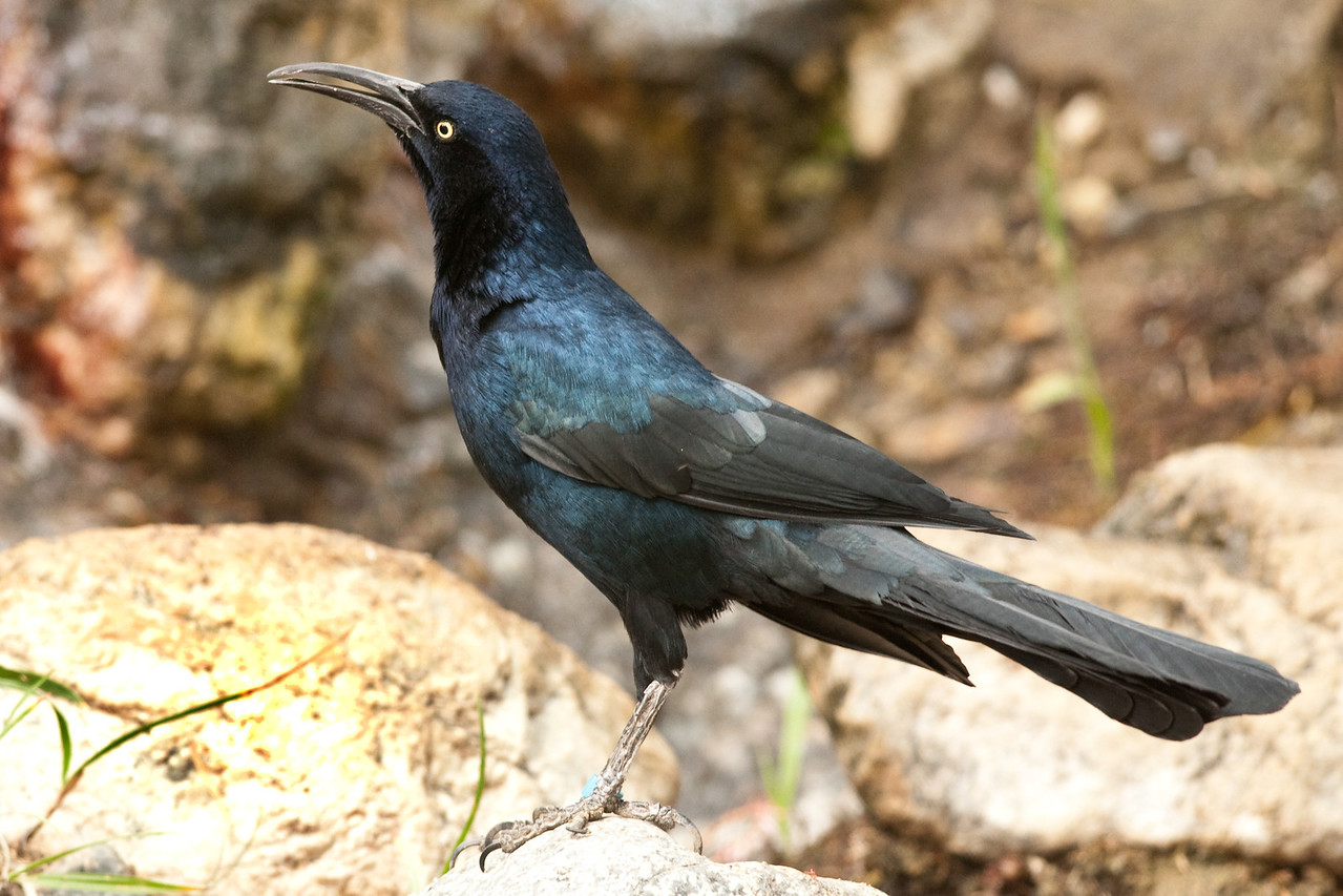 Great-tailed Grackle, male, So. California