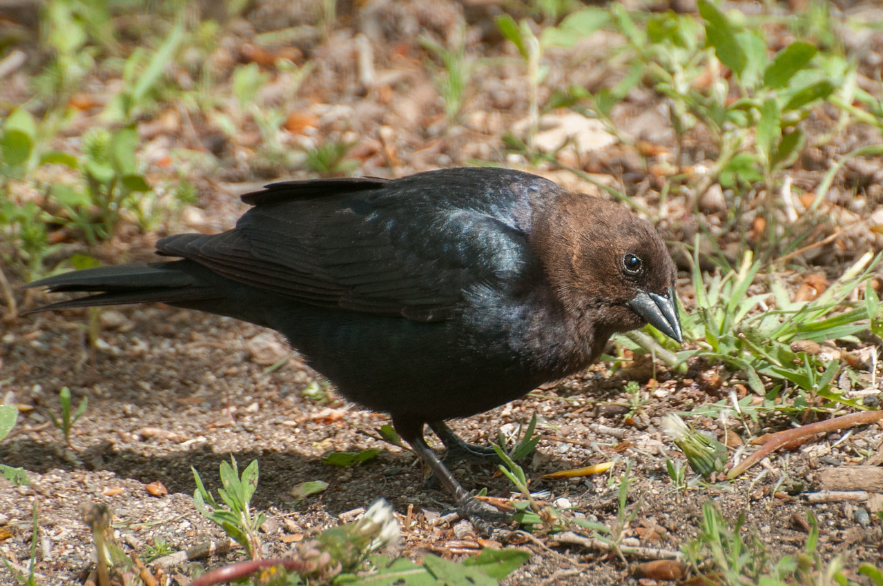 Brown-headed Blackbird