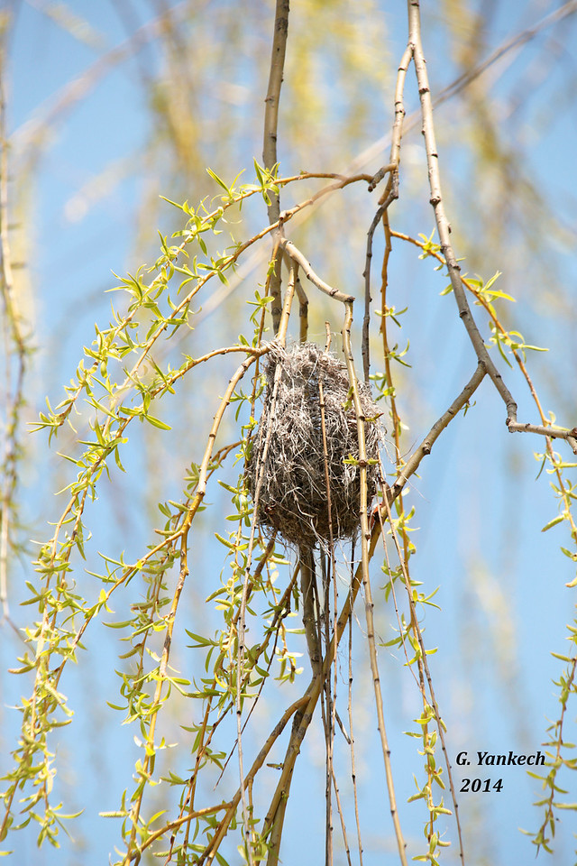 Baltimore Oriole nest<br /> <br /> Toronto Islands, Toronto, Ontario