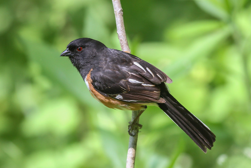 Eastern Towhee @ Hocking County - May 2014