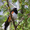 Eastern Towhee @ Shawnee State Forest - April 2012
