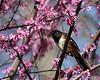 Eastern Towhee @ Highbanks - April 2010