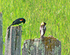Red-winged Blackbird and Bobolink