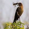 Boat-tailed Grackle with Frog
