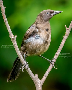 juvenile Common Grackle