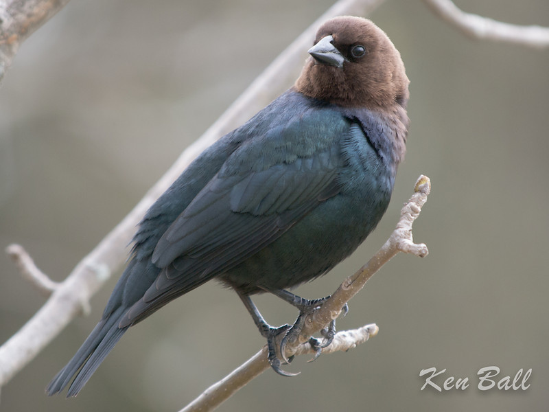 brown-headed cowbird: Molothrus ater, Green's Creek