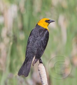 Yellow Headed Blackbird Watching