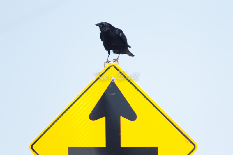 Yes! i have spotted you.<br /> American crow: Corvus brachyrhynchos, O'Toole Road, sign
