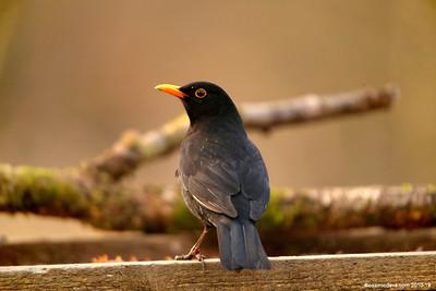 Blackbird 004