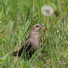 brown-headed cowbird: Molothrus ater