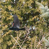Fletcher Gardens, red-winged blackbird: Agelaius phoeniceus