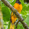 Oriole Meal Time