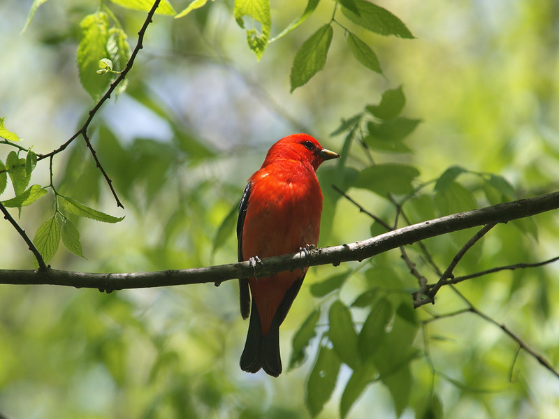 Point Pelee National Park, scarlet tanager: Piranga olivacea