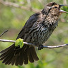 Mer Bleue, red-winged blackbird: Agelaius phoeniceus