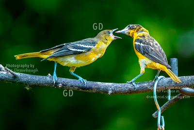 Dad Feeds Junior Oriole