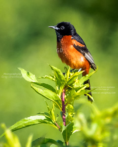 Male Orchard Oriole