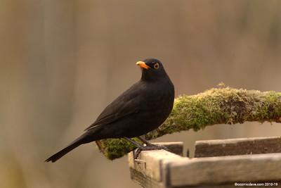 Blackbird 006