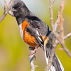 Constance Bay, eastern towhee: Pipilo erythrophthalmus