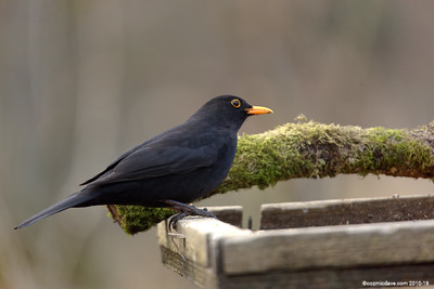 Blackbird 007