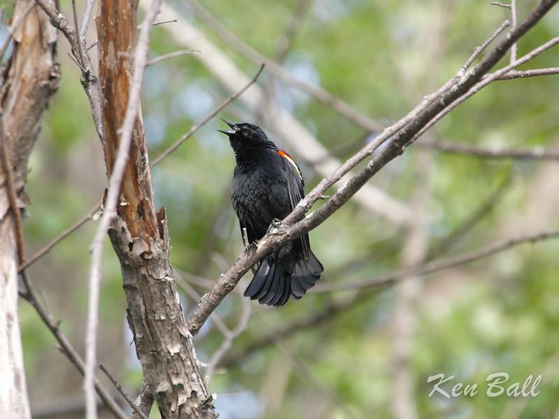 Petrie Island, red-winged blackbird: Agelaius phoeniceus