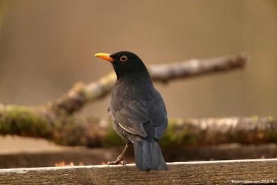 Blackbird 005