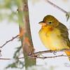 summer tanager: Piranga rubra, male,  juvenile: immature, New Edinbourgh, Ottawa<br /> This inividual is a first winter record for Ottawa.