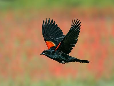 Red-Winged Blackbird Past the Penstemon