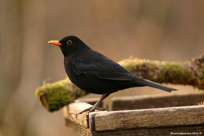 Blackbird 002