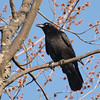 American crow: Corvus brachyrhynchos, Beacon Hill