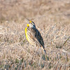 eastern meadowlark: Sturnella magna, Wall Road