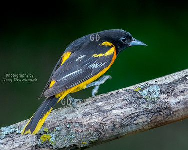 Marching Oriole