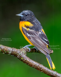 Rain-soaked Baltimore Oriole