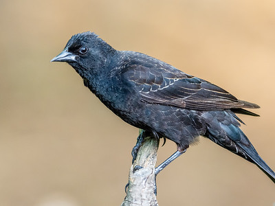 Young Red-winged Blackbird