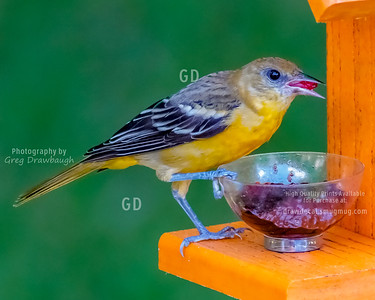 Oriole Lunch