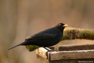 Blackbird 001