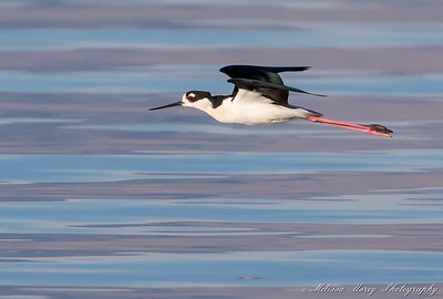Black--necked Stilts