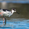 Black-necked Stilt with muddy feet