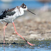 Fluffy Black-necked Stilt