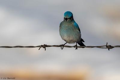 0U2A1247_bluebirds