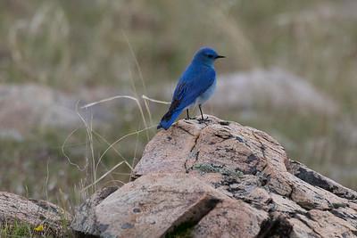 0U2A8183_Blue birds