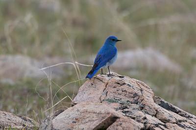 0U2A8182_Bluebird