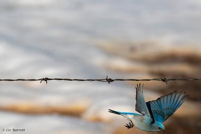 0U2A1253 Blue bird